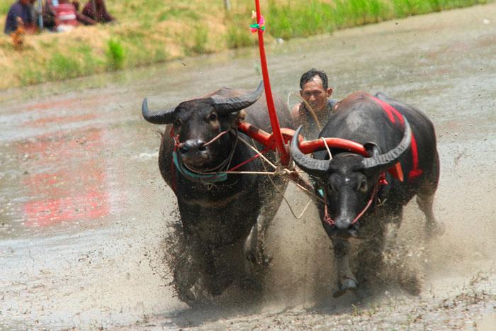Гонки буйволов и утиное родео в Паттайе