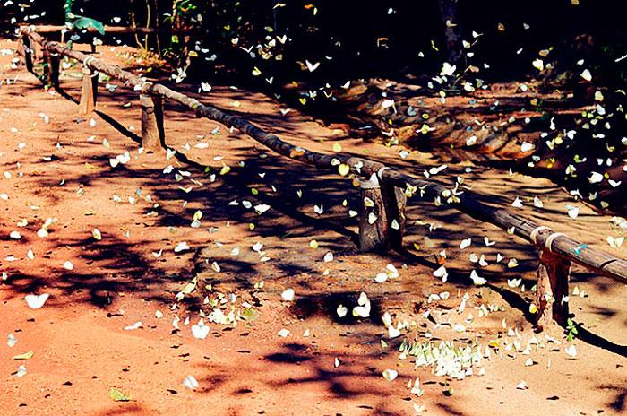 Бабочки в национальном парке Пангсида в Сакео
