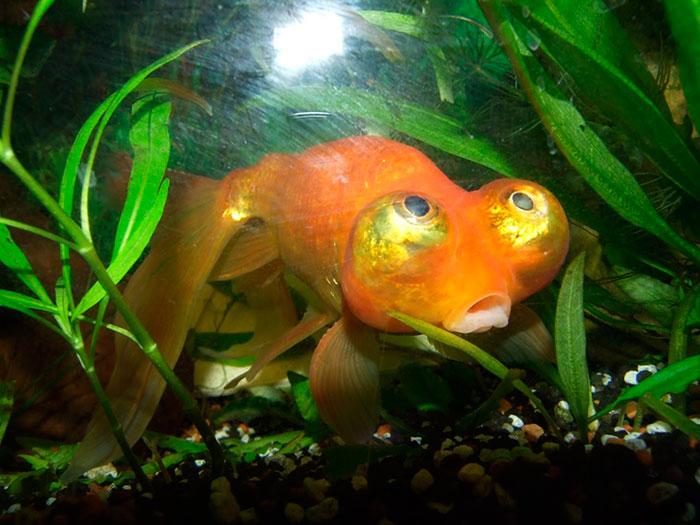 Золотая рыбка Небесное око