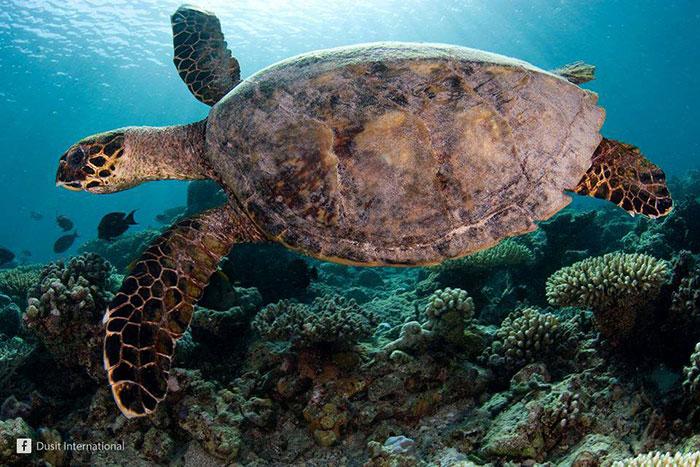 Гигантские морские черепахи на Симиланских островах в Тайланде
