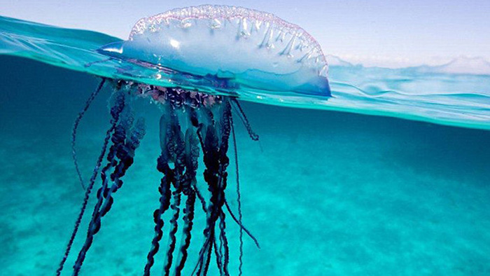 Опасные медузы bluebottle