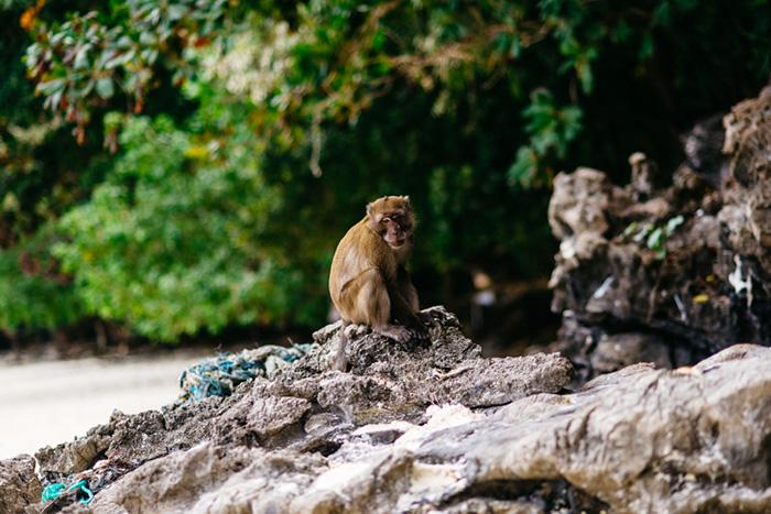Большинство обезьян на Monkey Beach встречают туристов