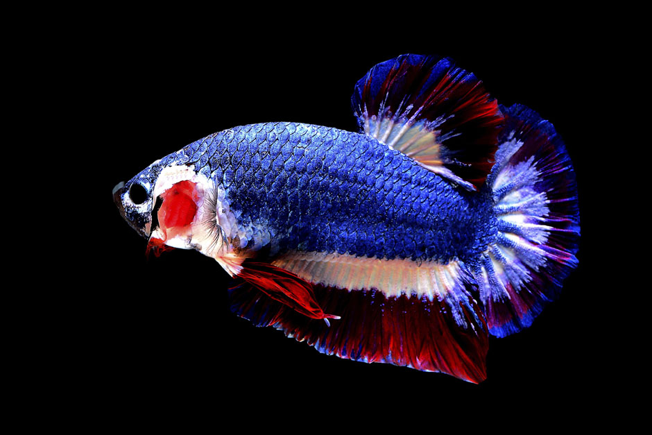 Бойцовая рыбка Бетта в цветах флага Тайланда. Фото AP News