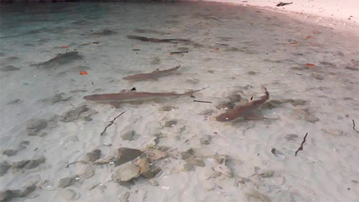 Рифовые акулы у острова Ко Хонг 15 апреля. Фото Phuket Gazette