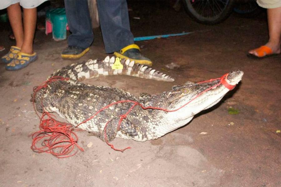 Тайские соцсети: Малыш-аллигатор загорает на солнышке у водохранилища