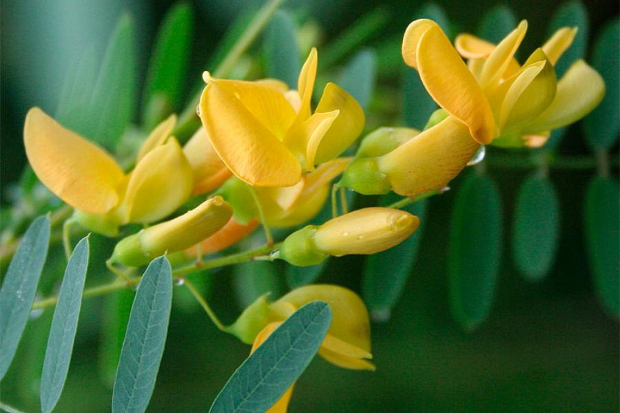 Жёлтая сесбания (yellow sesbania)