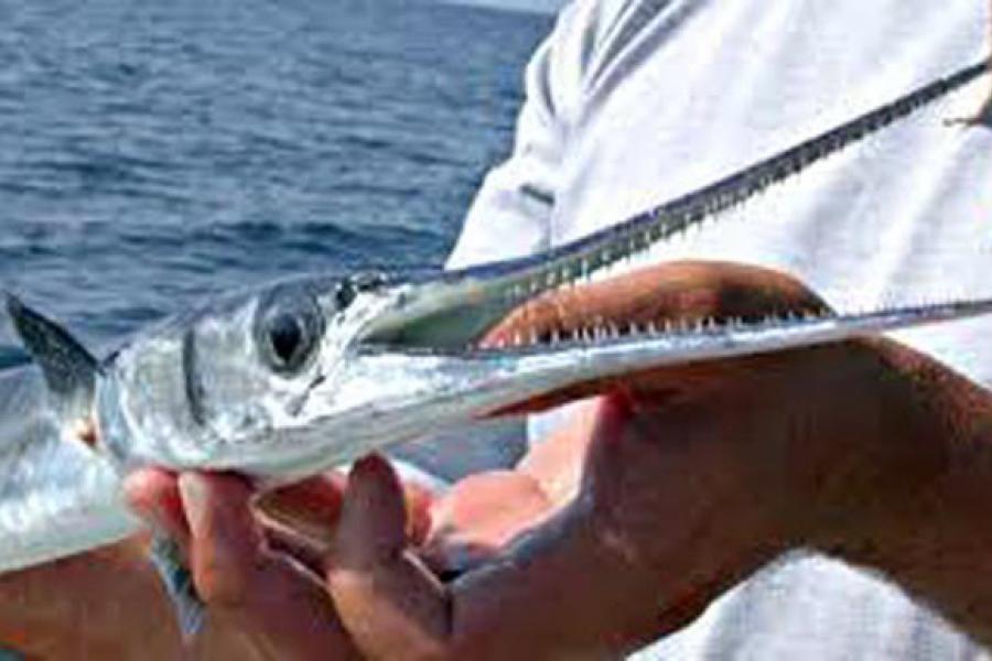 рыбы иглы фото